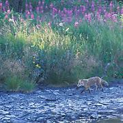 Red Fox, (Vulpus fulva) Following bank of stream. Montana. Captive Animal.