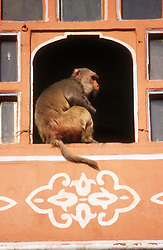 Hawa Mahal at Jaipur; India; with monkey sitting on window ledge,
