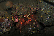 Hairy Red Hermit Crab, Dardanus lagopodes, on coral reef, Tulamben, Bali, Indonesia