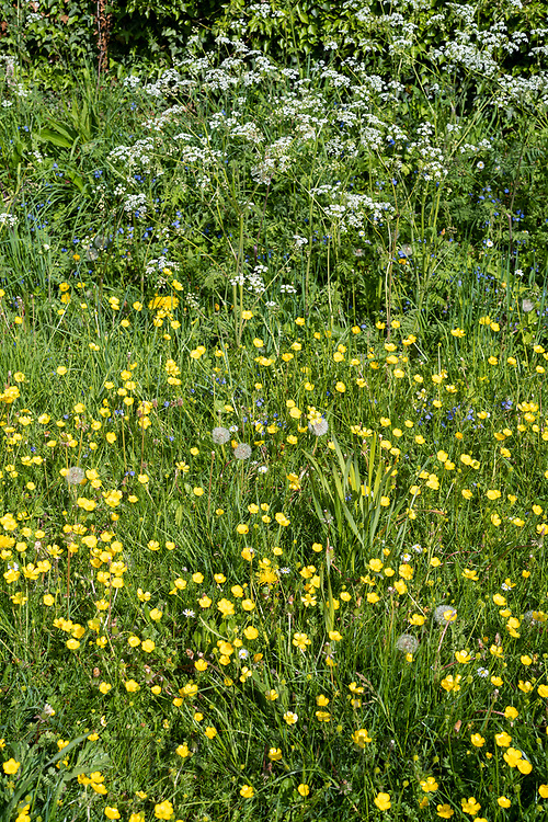 Forget Me Nots - Myosotis - Cow Parsley - Anthriscus sylvestris, Buttercups - Ranunculus  - wildflowers blooming and dandelion seed heads in Springtime, UK