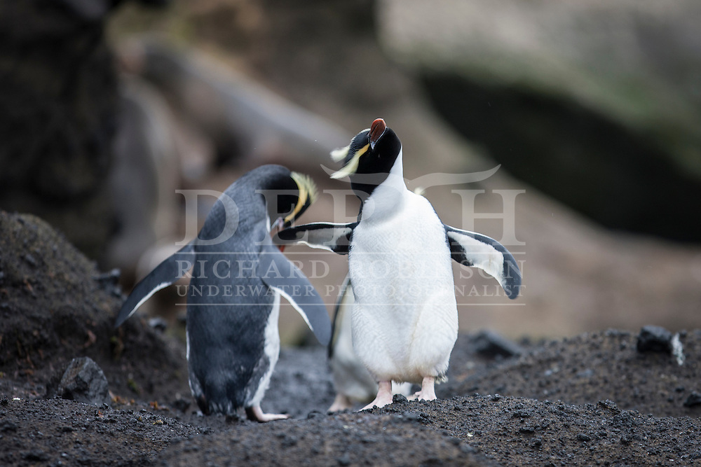 Eudyptes sclateri (Erect-crested Penguin) at the subantarctic Antipodes Islands, New Zealand.<br /> Tuesday 11 March 2014<br /> Photograph Richard Robinson © 2014