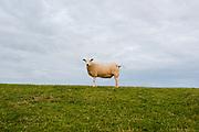Portrait of a sheeps standing on a dike, Friesland province
