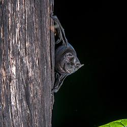 """""""Morcego-de-cauda-grossa (Molossus molossus) fotografado em Burarama, distrito do município de Cachoeiro de Itapemirim, no Espírito Santo -  Sudeste do Brasil. Bioma Mata Atlântica. Registro feito em 2018.<br /> ⠀<br /> ⠀<br /> <br /> <br /> ENGLISH: Velvety free-tailed bat photographed in Burarama, a district of the Cachoeiro de Itapemirim County, in Espírito Santo - Southeast of Brazil. Atlantic Forest Biome. Picture made in 2018."""""""