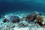 two hawksbill sea turtles, Eretmochelys imbricata, Critically Endangered Species, face off in a territorial duel at a feeding site, Sipadan Island, Malaysia ( Celebes Sea / Western Pacific Ocean )