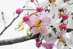 Cassia Bakeriana Pink Shower Wishing Tree#9