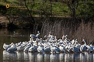 Flock of White Pelicans on the Snake River in Asotin, Washington, USA