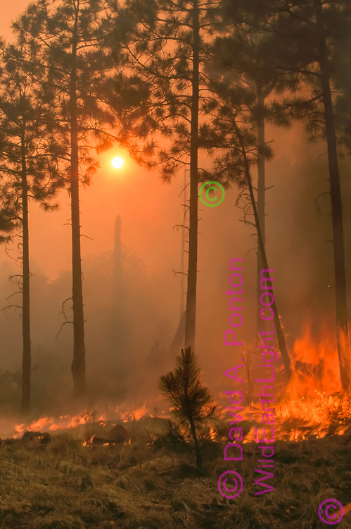 Prescribed fire burns along floor of ponderosa pine forest with the sun nearly obscured by smoke. Escobas Mesa, Bandelier National Monument, © 1998 David A. Ponton