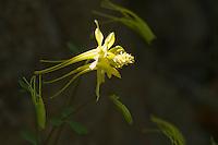 Yellow (golden) columbine, Aquilegia chrysantha. Sycamore Canyon, Coronado National Forest, Arizona