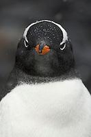 Gentoo Penguin (Pygoscelis papua) at Brown Bluff, Antarctic Peninsula.