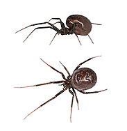 Steatoda grossa - female. Steatoda grossa with its dark, shiny, globular body is  the most Black Widow-like of our false widdow spiders and it is common in dark corners of houses and outbuildingsin southern Britain. The young female spiders have clear pale forward-pointing chevrons on the dark abdomen which fade as they get larger but are usually still just visible. The spider can deliver a nip but does not have the reputation for causing pain as has Steatoda nobilis.
