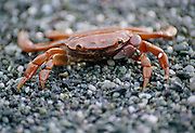 A small red crab on the beach at Shi Shi, Olympic National Park, Washington.