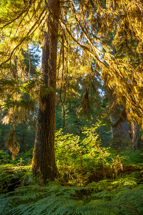 Early morning light sneaking through the trees to light up the mossy branches on a Douglas fir tree, Olympic National Park, Hoh river trail, Washington, USA.
