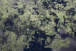Duckweed in the water at the Green Cay Wetlands in Boca Raton, Florida
