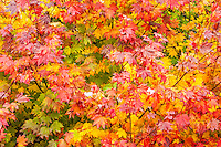 One of the most vivid and striking autumn trees in the Pacific Northwest is the vine maple. The image was made at the top of Snoqualmie Pass in the Cascade Mountains.