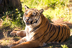 A Bengal tiger rests in its enclosure at the Oakland, Calif. zoo, Wednesday, Dec. 26, 2007.  In the wake of the escape of and fatal mauling by a Siberian tiger at the San Francisco zoo, officials in Oakland said they were confident that visitors were not in danger. (D. Ross Cameron/The Oakland Tribune)