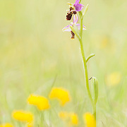 Ophrys scolopax_Woodcock Bee-orchid