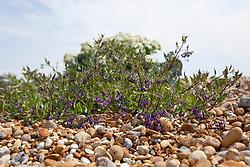 Woody Nightshade on the beach at Dungeness.  Solanum dulcamara