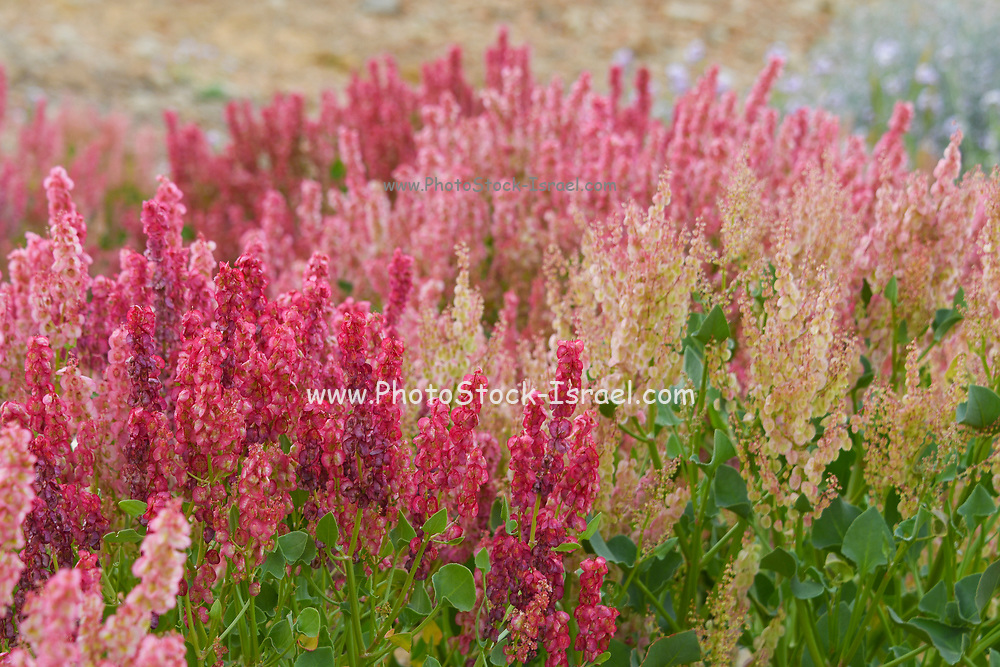 After a rare rainy season in the Negev Desert and Israel in general, an abundance of wildflowers sprout out and bloom. Knotweed sorrel (Rumex cyprius syn Rumex roseus) Photographed Makhtesh Ramon (Ramon crater), Negev, Israel in March
