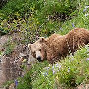 Alaskan Brown Bear feeding on vegetation. Alaska