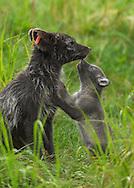 Arctic fox (Alopex lagopus), Stekenjokk, Jamtland, Sweden