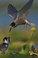 Black Tern, Chlidonias nigra, feeding its chick on the floating vegetation in the Nemunas Delta Nature Reserve, Lithuania, Europe