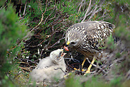 HEN HARRIER Circus cyaneus Female at nest with young. Wingspan 100-120cm. Britain's most familiar harrier, usually seen gliding at slow speed, low over the ground. Adult male has pale blue-grey plumage except for white belly, white rump and black wingtips. Adult female is brown with darker barring on wings and tail, streaking on body underparts, and a narrow white rump. Juvenile is similar to adult female but breast and wing coverts are brighter. Voice – mainly silent. Status and habitat – Breeds on upland moorland, winters on lowland heaths and near coasts.