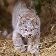 Canada Lynx, (Lynx canadensis) Montana. Stalking.  Captive Animal.