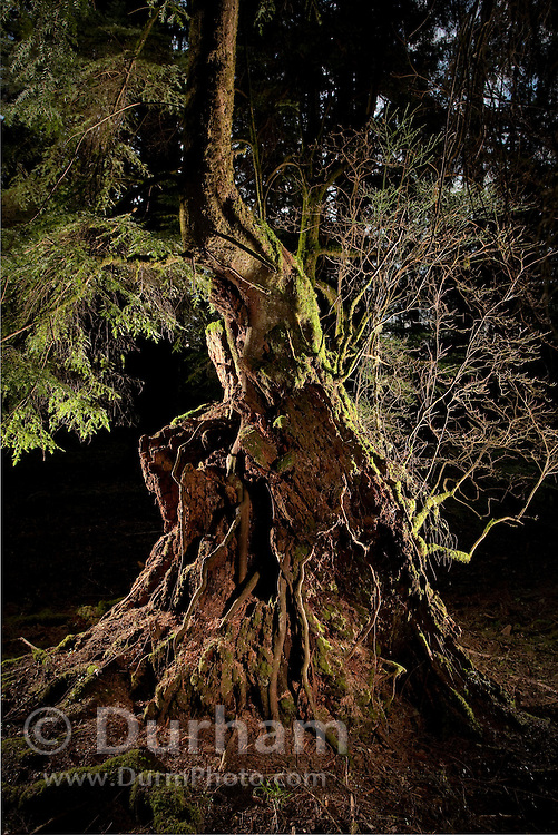 A western hemlock (Tsuga heterophylla) grows from the nutrients provided by a rotting stump of a douglas fir (Pseudotsuga menziesii) in coastal forest in northern Oregon. Photographed on land managed by the North Coast Land Conservancy.
