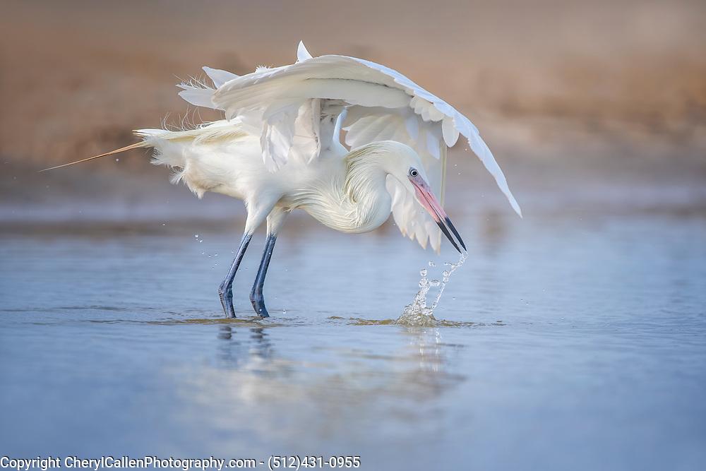 Reddish Egret - white morph classic hunting pose