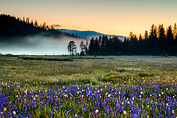 """Sagehen Meadows Sunrise 4"" - Photograph of the camas wildflowers shot at sunrise at Sagehen Meadows."