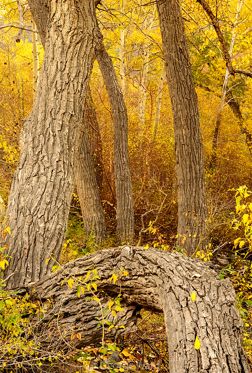 Cottonwood Grove, Inyo National Forest, Mono County, Caifornia