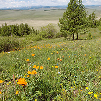 MONGOLIA.  Wildflowers on hillsides north of Muren in Hovsgol district, south of Horidal Saridag Mountains.  Distant mountains are near Russian border.