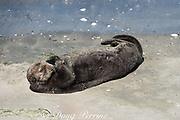 California sea otter or southern sea otter, Enhydra lutris nereis ( threatened species ), basking on the beach at Elkhorn Slough, Moss Landing, California, United States ( Eastern Pacific ); this is the only location where Pacific sea otters are known to come ashore regularly