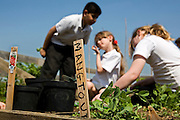 An after school class garden in the school vegetable patch, at Sandhills Primary School in Oxford. Having the Children participate in Gardening can be a good method of teaching them aspects of geography, biology, and the environment. They can gain a better understanding of the process of life cycles and the importance of farming and agriculture. It can also help them be inspired to eat more vegetables and start their own Allotment of vegetable patch at home.