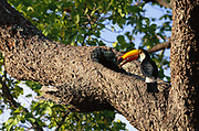 Toco Toucan at Nest with food for chick<br />Ramphastos toco toco<br />Cerrado Habitat. Piaui State, BRAZIL.  South America<br />Range: Guianas to N. Argentina