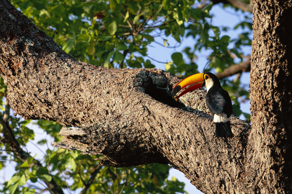 Toco Toucan at Nest with food for chick<br />