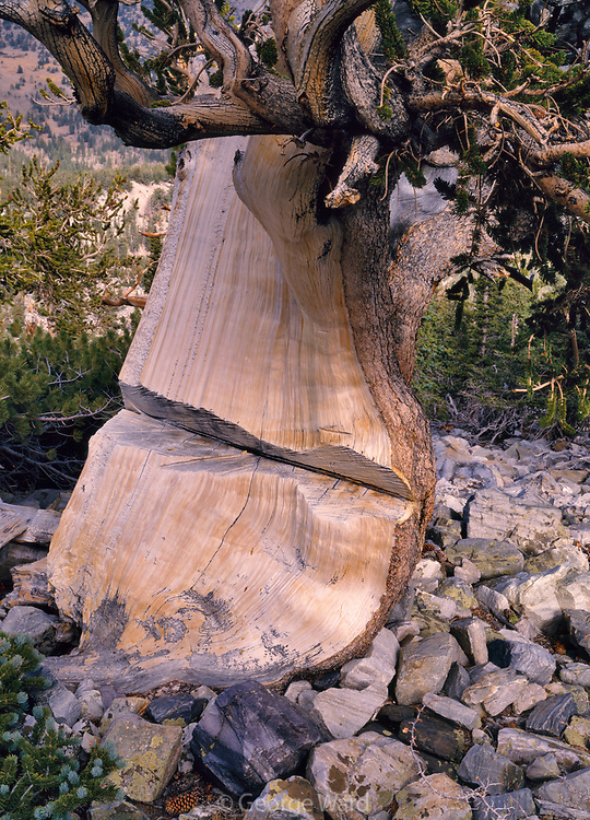 """Chain-sawed Ancient Bristlecone Pine (I believe cut in 1960s for """"research""""), Great Basin National Park, Nevada"""