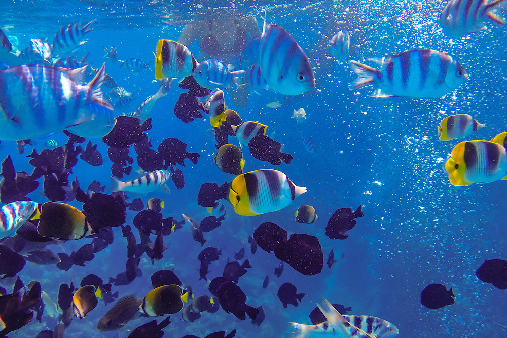Tropical fish seen while snorkeling off Bora Bora, French Polynesia.