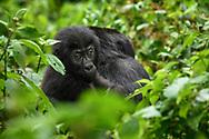Jungtier des Östlichen Flachlandgorillas (Gorilla beringei graueri) auf dem Rücken seiner Mutter, Kahuzi-Biega Nationalpark, Süd-Kivu, Demokratische Republik Kongo<br /> <br /> Young lowland gorilla (Gorilla beringei graueri) on its mother's back, Kahuzi-Biega National Park, South Kivu, Democratic Republic of the Congo