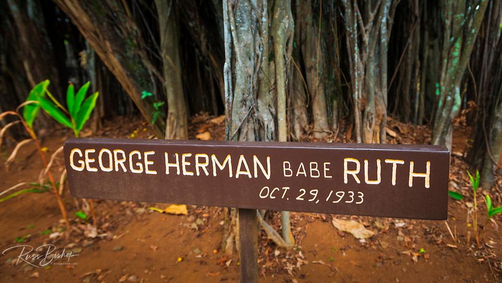 Celebrity planted banyan tree (Babe Ruth) on Banyan Drive, Hilo, The Big Island, Hawaii USA