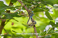 06347-001.12 Lance-tipped Darner (Aeshna constricta) male and female mating  McHenry Co,. IL