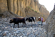 Bolivian woman leading cows through Valley de las Animals - valley of the animals, unusual rock formations that look like a moon landscape on the outskirts of La Paz, capital of Bolivia