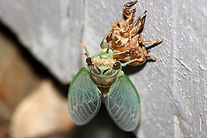 Cicadas, locusts and Grasshoppers Royalty Free Stock Images