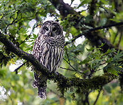 A Barred Owl sits on a tree above the pond at the Woodland Garden in the Washington Park Arboretum looking for prey.  Known also by the name, Hoot Owl, Barred Owl's are native to the northern east coast but have expanded there territory to the west coast including Washington State. (Steve Ringman / The Seattle Times)