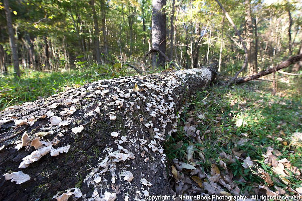 A fallen tree at Radnor Lake State Natural Area  hosts hundreds of mushrooms.
