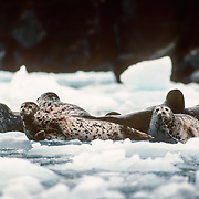"The harbor seal (Phoca vitulina), a widespread species in both the north Atlantic and Pacific oceans, is found in Alaska along the coast extending from Dixon Entrance north to Kuskokwim Bay and west throughout the Aleutian Islands. Harbor seals, and other phocid (true) seals, also are called ""hair"" seals, which helps distinguish true seals from fur seals. Harbor seals haul out of the water periodically to rest, give birth, and nurse their pups. In winter seals spend up to 80% of their time in the water. In spring and summer they spend more time hauled out during pupping and moult season. Reefs, sand and gravel beaches, sand and mud bars, and glacial, pan ice, and sea ice are commonly used for haul-out sites. The moulting lines on these seals are clearly visible."
