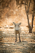 Warthog ' Luangwa River Valley, Zambia, Africa