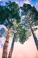 Low view of pine trees looking up towards blue sky
