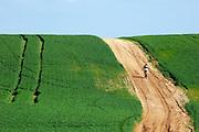Israel, Negev, Lone cyclist in a wheat field