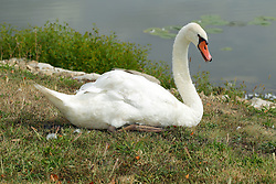 Spring Lake Fish and Wildlife Area is located in Tazewell County, 25 miles southwest of Peoria on the east side of the Illinois River.<br /> <br /> Trumpeter Swan - Cygnus buccinator Mute Swan